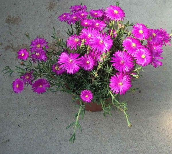 Mesembriantemo mesembryantemum caratteristiche e dove for Piantine fiorite perenni
