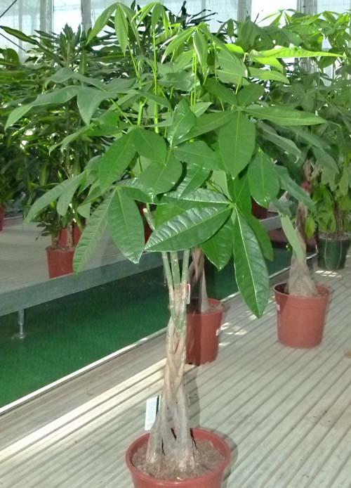 Pachira acquatica tutto sulla pianta come coltivarla e - Pachira pianta ...