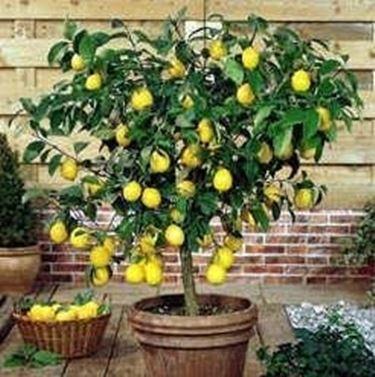 Pianta del limone informazioni e potatura coltivarla for Pianta di limone