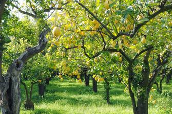 Pianta del limone informazioni e potatura coltivarla for Albero limoni in vaso