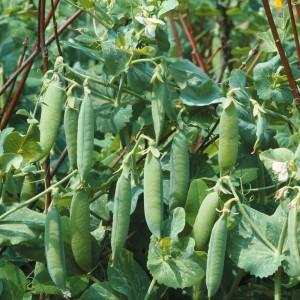 semina dei piselli