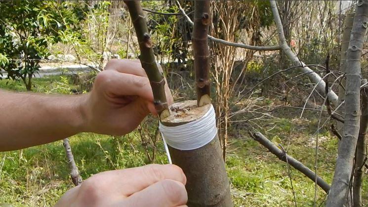 Innesto fico quando e come si fa la guida completa for Quando piantare alberi da frutto