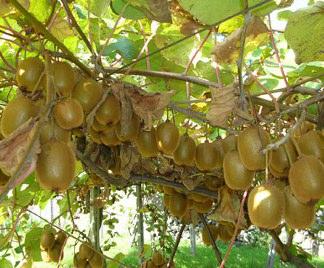 coltivazione kiwi come e quando coltivarlo